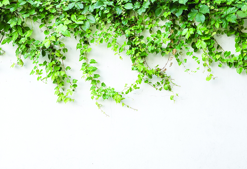 ivy leaves covering top of white wall