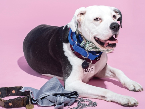 dog against pink background wearing multiple collars