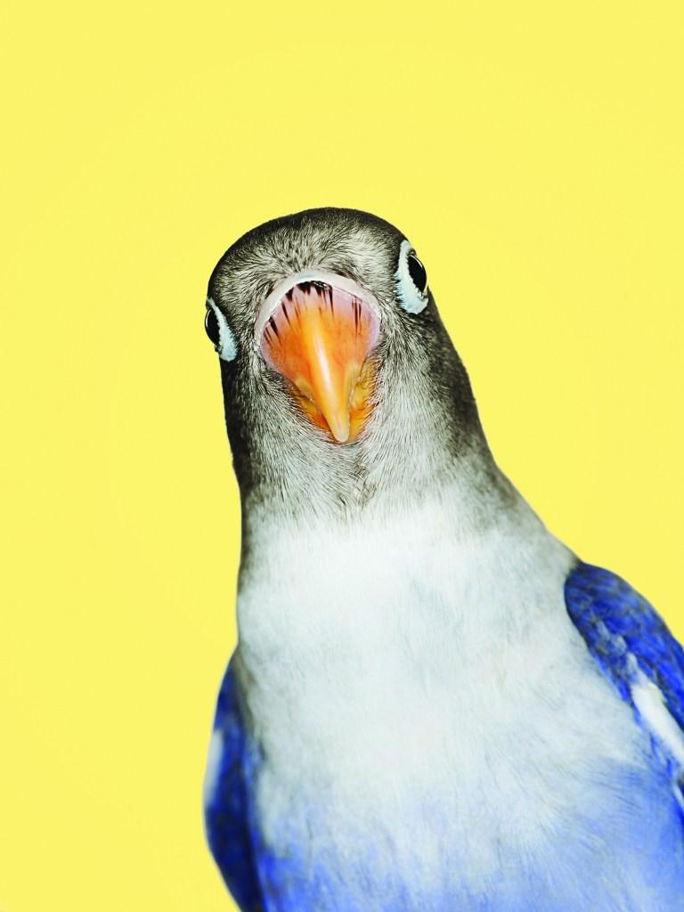 Blue and grey love bird (agaporni)