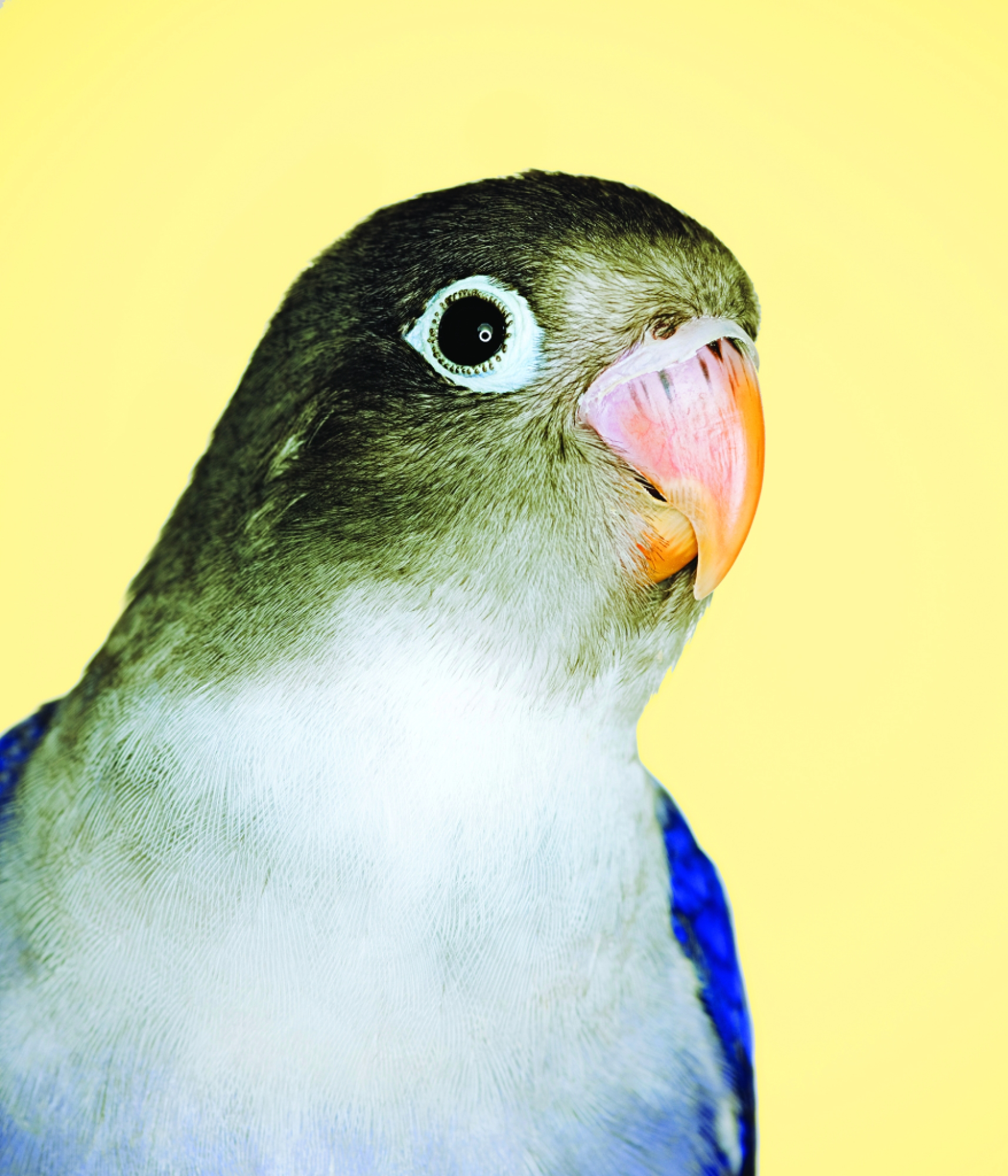 Blue and grey love bird (agaporni)